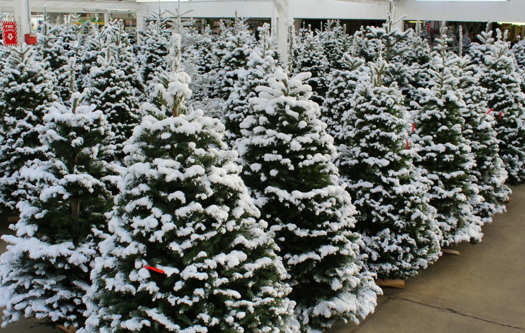 Fresh Cut Christmas Trees Near Me.Fresh Cut Christmas Trees Seattle Area Carpinito Bros